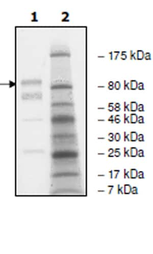 SDS-PAGE - Recombinant human EGFR (mutated T790 M + L858 R) protein (Active) (ab271495)