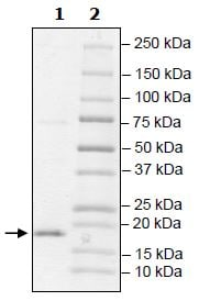 SDS-PAGE - Recombinant Human TCEB2/Elongin-B protein (Tagged) (ab271496)