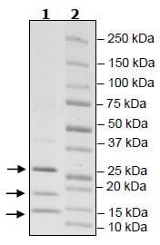 SDS-PAGE - Recombinant human Von Hippel Lindau/VHL + TCEB2/Elongin-B + Elongin-C protein (Tagged) (ab271497)