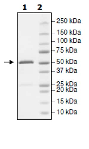 SDS-PAGE - Recombinant human Eph receptor A4/SEK protein (Active) (ab271498)