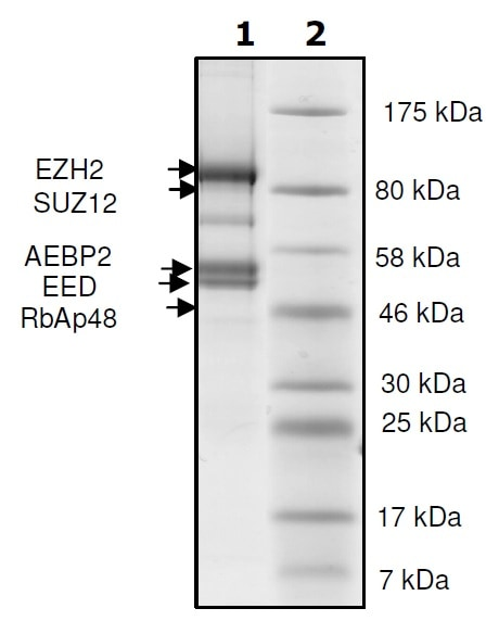 SDS-PAGE - Recombinant Human RbAp48 + EED + SUZ12 + AEBP2 + EZH2 (deleted Y153) protein (Tagged) (ab271500)