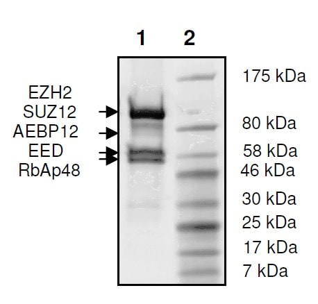SDS-PAGE - Recombinant Human RbAp48 + EED + SUZ12 + AEBP2 + EZH2 (mutated E740 K) protein (Tagged) (ab271501)