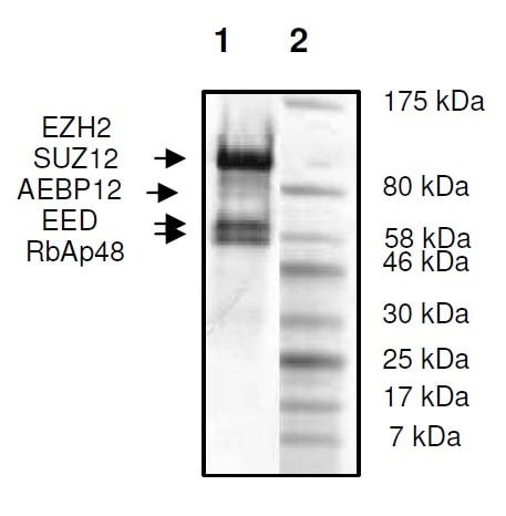 SDS-PAGE - Recombinant Human RbAp48 + EED + SUZ12 + AEBP2 + EZH2 (mutated F667 I) protein (Tagged) (ab271502)