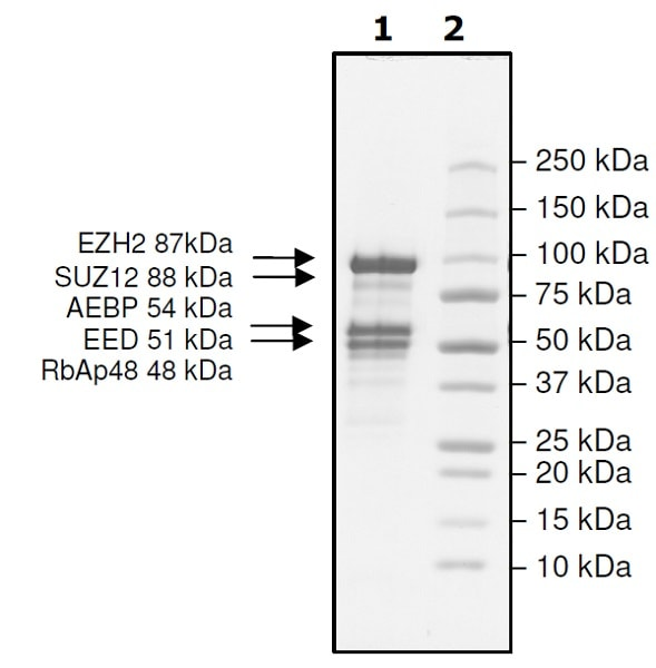 SDS-PAGE - Recombinant human RbAp48 + EED + SUZ12 + AEBP2 + EZH2 (mutated P132 S) protein (Active) (ab271504)