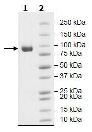 SDS-PAGE - Recombinant Mouse Fibroblast activation protein, alpha (Tagged) (ab271506)