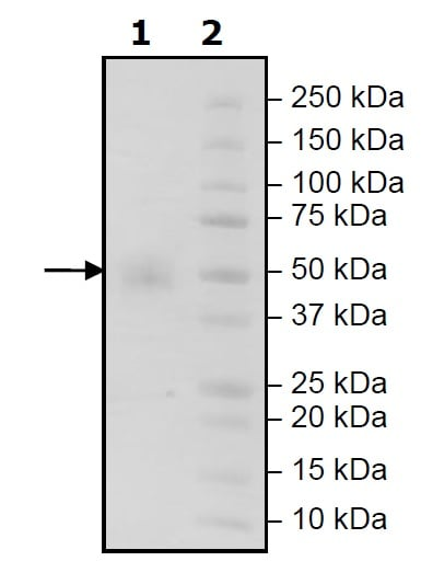 SDS-PAGE - Recombinant Human CD16 protein (His tag) (ab271508)