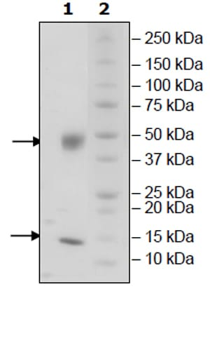 SDS-PAGE - Recombinant Mouse B2M + FCGRT protein (Tagged) (Biotin) (ab271510)