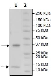SDS-PAGE - Recombinant Human B2M + FCGRT protein (Tagged) (Biotin) (ab271512)