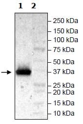 Western blot - Recombinant Human FGFR3 (mutated V443 M) protein (Tagged) (ab271516)