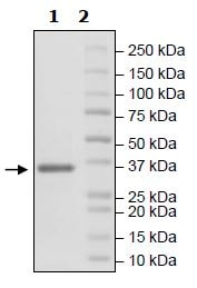 SDS-PAGE - Recombinant Human FGFR3 (mutated V443 M) protein (Tagged) (ab271516)