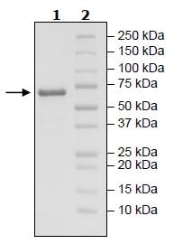 SDS-PAGE - Recombinant human FGL1 protein (Active) (ab271517)