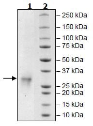 SDS-PAGE - Recombinant Human FNDC5 protein (Tagged) (ab271522)