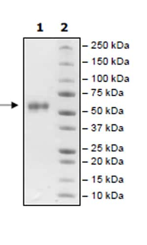 SDS-PAGE - Recombinant Human Frizzled 7 protein (Tagged) (ab271524)