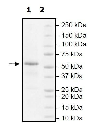 SDS-PAGE - Recombinant human FTO protein (Active) (ab271525)