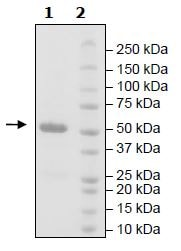 SDS-PAGE - Recombinant Human Bile Acid Receptor NR1H4 protein (Tagged) (ab271526)