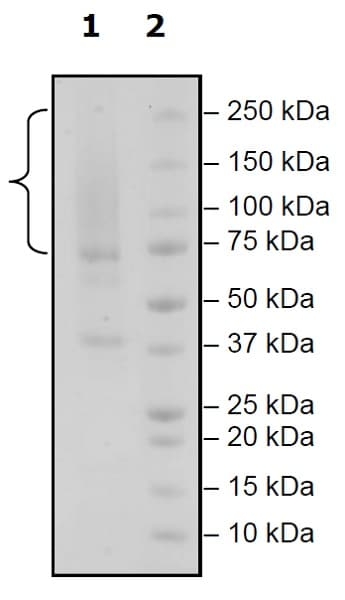 SDS-PAGE - Recombinant Human Glypican 3 protein (Tagged) (Biotin) (ab271530)