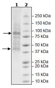SDS-PAGE - Recombinant Human Glycogenin 1 + Glycogen synthase 2 protein (Tagged) (ab271532)