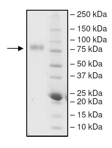SDS-PAGE - Recombinant Human CD226 protein (Tagged) (ab271540)