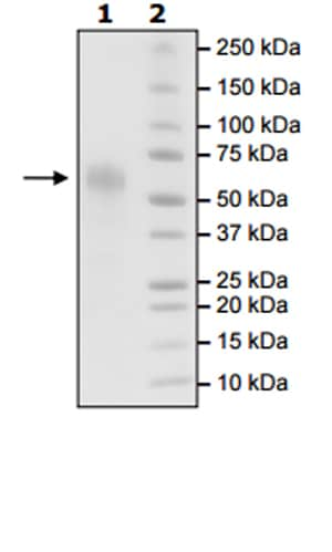 SDS-PAGE - Recombinant Human CD46 protein (Tagged) (ab271542)