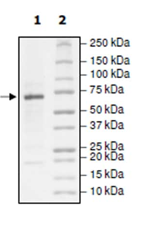 SDS-PAGE - Recombinant human IRE1 protein (Active) (ab271544)
