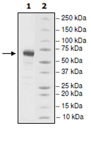 SDS-PAGE - Recombinant Human LTBR protein (Tagged) (ab271545)
