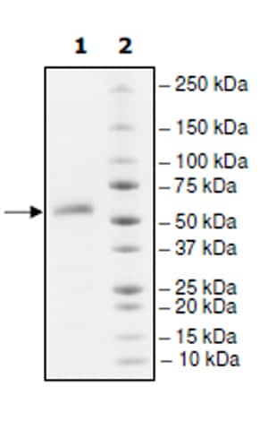 SDS-PAGE - Recombinant Human TNFRSF14/HVEM protein (Tagged) (ab271546)