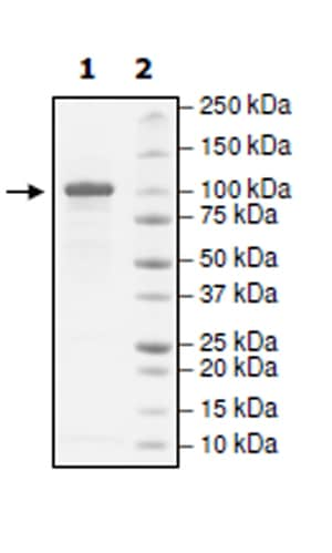 SDS-PAGE - Recombinant Human Insulin degrading enzyme / IDE protein (Tagged) (ab271547)
