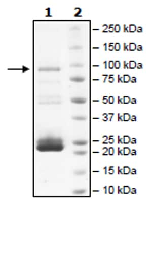 SDS-PAGE - Recombinant Human JAK2 protein (Tagged) (Biotin) (ab271554)