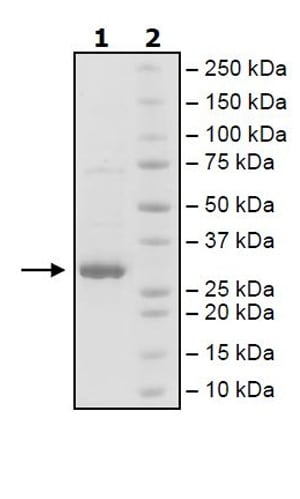 SDS-PAGE - Recombinant Human JAK2 (mutated E596 A + V617 F + W659 A + W777 A + F794 H) protein (Tagged) (ab271555)