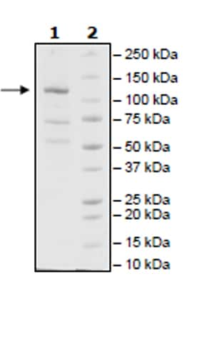 SDS-PAGE - Recombinant Human JAK2 (mutated V617F) protein (Tagged) (Biotin) (ab271560)
