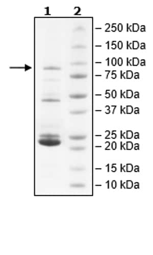 SDS-PAGE - Recombinant Human JAK2 (mutated V617 F) protein (Tagged) (Biotin) (ab271561)