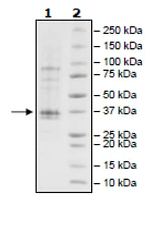 SDS-PAGE - Recombinant Human JAK2 (mutated V617 F) protein (Tagged) (Biotin) (ab271562)