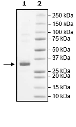 SDS-PAGE - Recombinant Human JAK2 (mutated W659 A + W777 A + F794 H) protein (Tagged) (Biotin) (ab271563)
