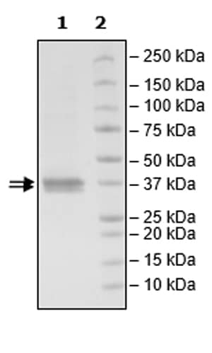 SDS-PAGE - Recombinant Human JAK2 protein (Tagged) (Biotin) (ab271565)