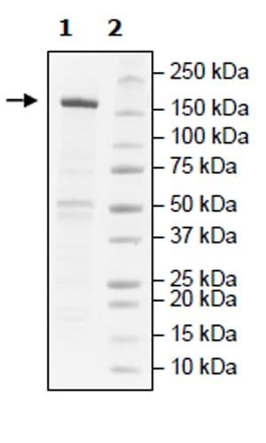 SDS-PAGE - Recombinant human KDM5B / PLU1 / Jarid1B protein (Active) (ab271567)