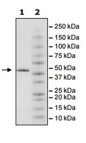 SDS-PAGE - Recombinant human JHDM1D protein (Active) (ab271568)