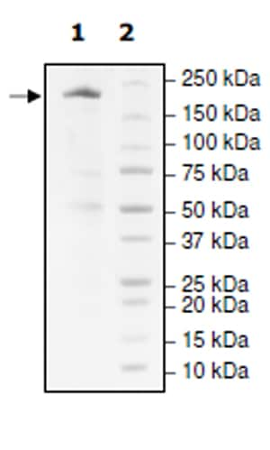 SDS-PAGE - Recombinant human KDM3B / JMJD1B protein (Active) (ab271569)