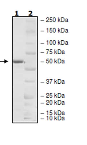SDS-PAGE - Recombinant Human KCTD13 protein (Tagged) (ab271570)