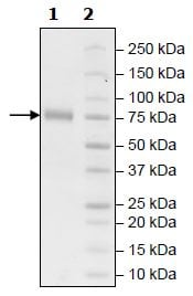 SDS-PAGE - Recombinant Human KIR2DL1 protein (Tagged) (Biotin) (ab271572)