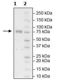 SDS-PAGE - Recombinant Human KIR2DL2 protein (Tagged) (Biotin) (ab271574)