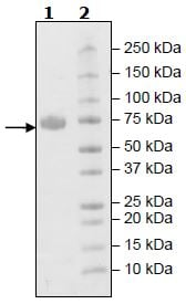 SDS-PAGE - Recombinant Human KIR2DL3 protein (Tagged) (ab271576)