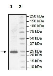 SDS-PAGE - Recombinant human KRAS (mutated G13D) protein (Active) (ab271580)
