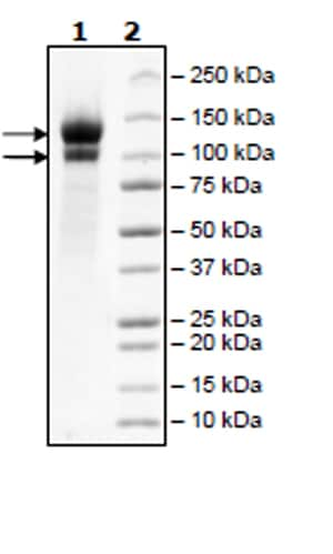 SDS-PAGE - Recombinant Human LDL Receptor protein (Tagged) (ab271587)