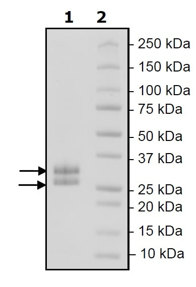 SDS-PAGE - Recombinant Mouse LIGHT protein (His tag) (ab271589)