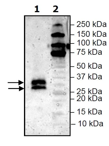 Western blot - Recombinant Mouse LIGHT protein (His tag) (ab271589)