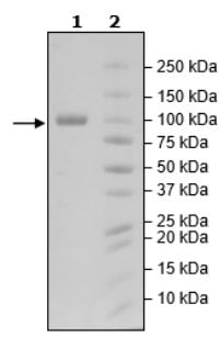 SDS-PAGE - Recombinant Human LILRB1 protein (Tagged) (ab271592)