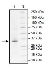 SDS-PAGE - Recombinant Human Lin28A protein (Tagged) (ab271598)