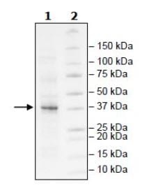 SDS-PAGE - Recombinant Human Lin28B protein (Tagged) (ab271600)
