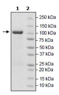 SDS-PAGE - Recombinant human LSD2 / AOF1 protein (Active) (ab271603)