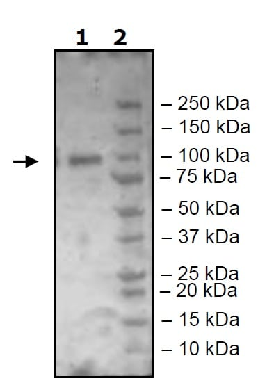 Western blot - Recombinant mouse MALT1/MLT protein (Active) (ab271605)